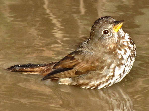 picture of a Fox Sparrow Taking a Bath, nature pictures
