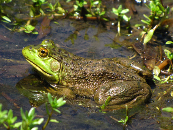 picture of a bull frog, one of many types of frogs in the true frog category