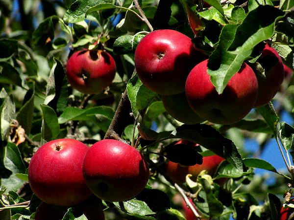 picture of bunch of apples