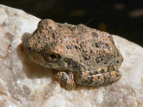 picture of a Canyon Tree Frog