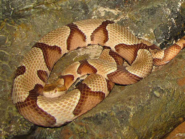 picture of a Copperhead snake, one of four types of snakes that are poisonous, and part of the Tennessee snake collection