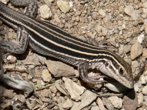 picture of a desert grassland whiptail