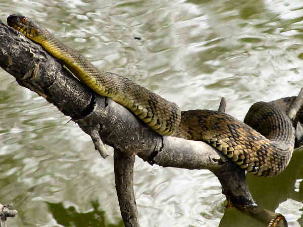 picture of a Diamondback Water Snake