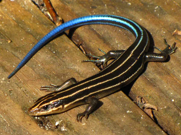 picture of a Five-lined Skink