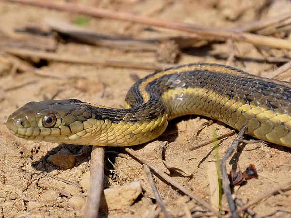 picture of the Giant Garter Snake, Thamnophis gigas, part of the how to identify garter snakes guide