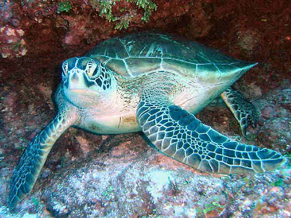 picture of a green sea turtle, NOAA Flickr