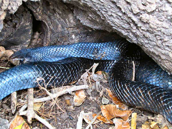picture of an indigo blue snake
