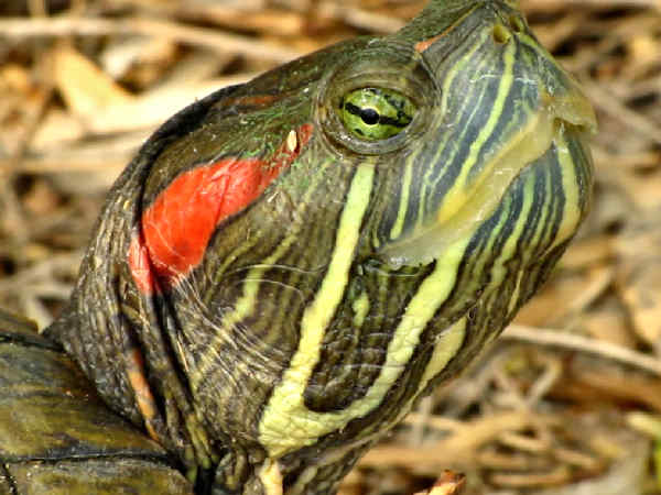 face shot of a Red-eared Slider turtle