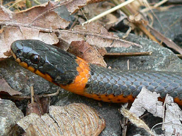 picture of a ring-necked snake face and neck