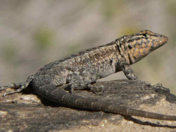 picture of Side Blotched Lizard