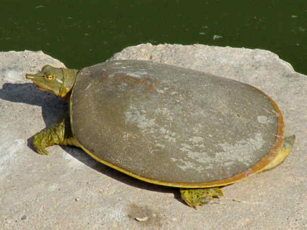 picture of a softshell turtle