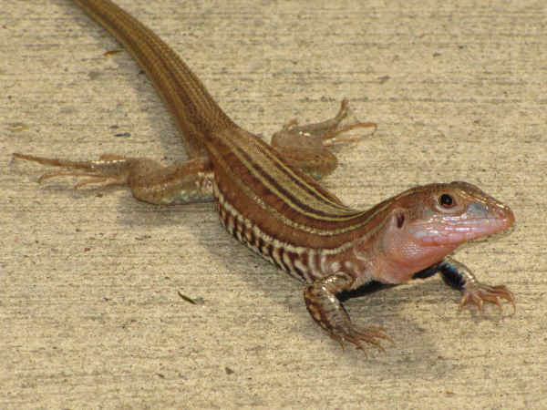 picture of a Texas Spotted Whiptail