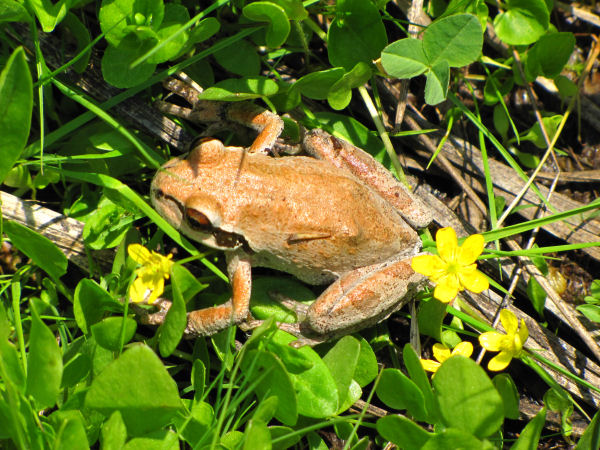 picture of a Pacific tree frog, one of many types of frogs in the tree frog category