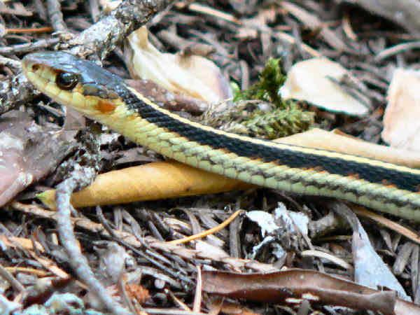 close-up of a valley garter snake