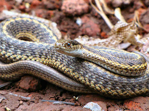 picture of a wandering garter snake, Thamnophis elegans