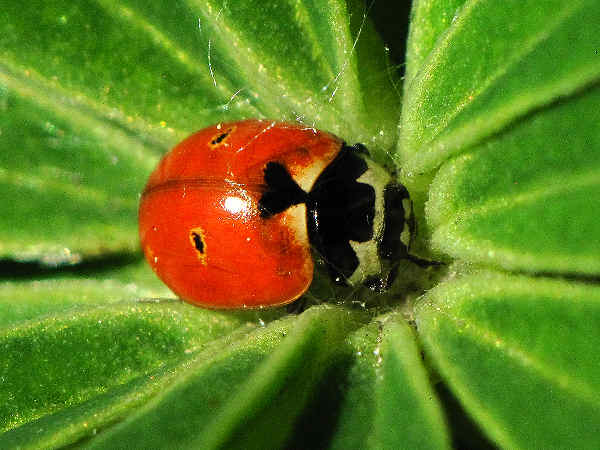 picture of a ladybug on lupine for the insects section
