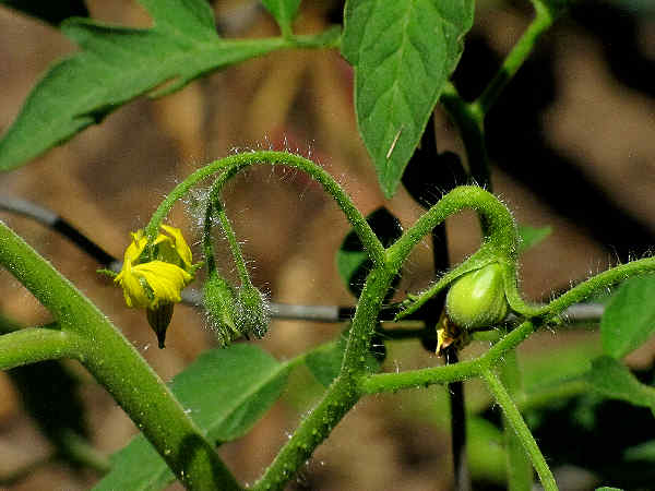 picture of a tomato plant vine gin flower
