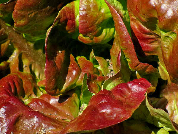 picture of butterhead lettuce
