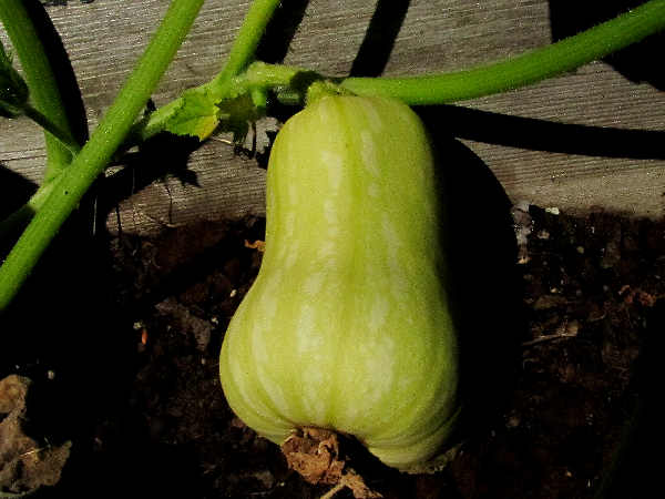 picture of a butterscotch squash growing in the garden. It's a winter squash