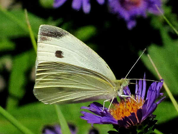 picture of a cabbage white butterfly