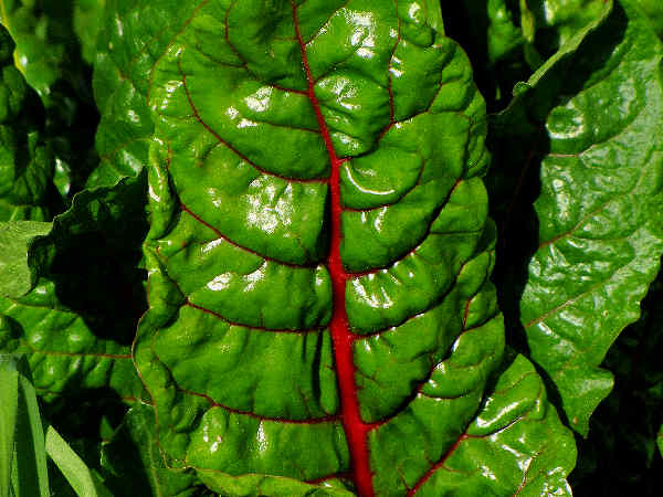 picture of swiss chard growing in the garden