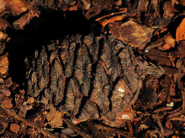 picture of the cone from a Giant Sequoia tree