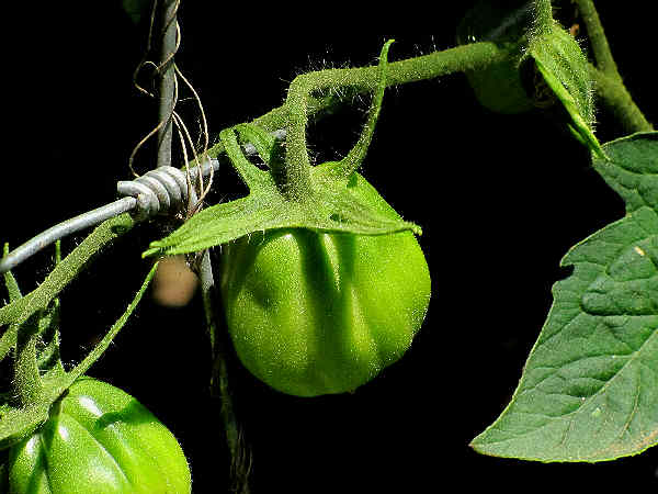 picture of a green tomato growing on a vine