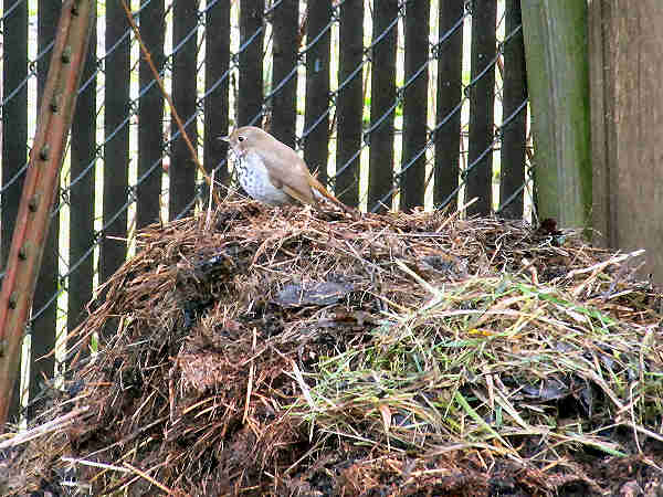 picture of a hermit thrush on a compost pile