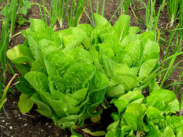 picture of leaf lettuce popular in salads