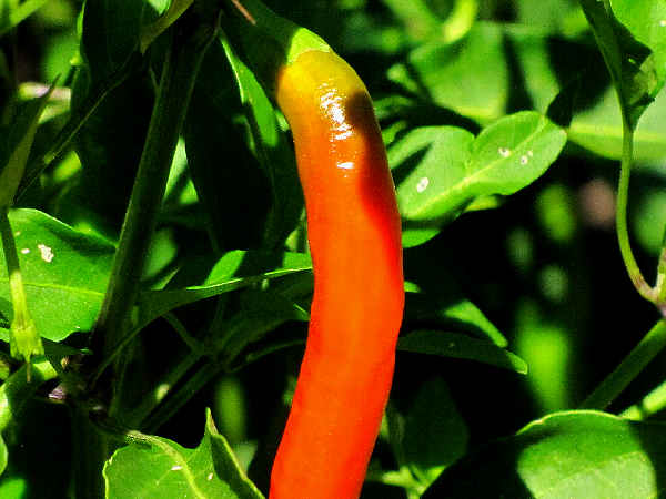 picture of a red cayanne pepper growing on a pepper plant