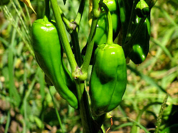 picture of peppers growing in the garden
