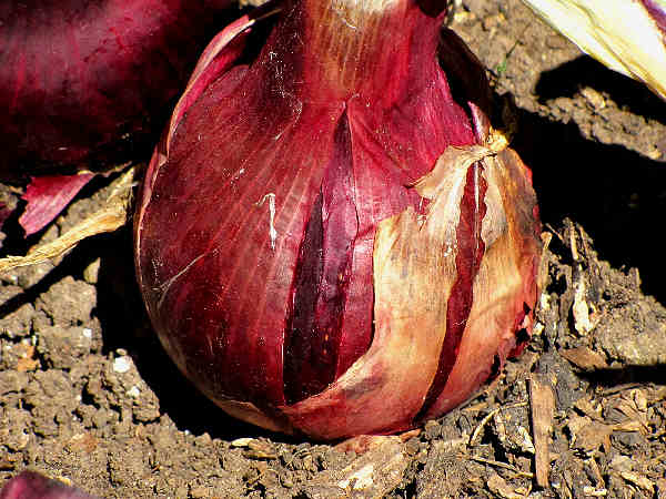 picture of an onion growing in the garden