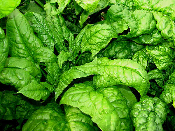 picture of spinach growing in the garden
