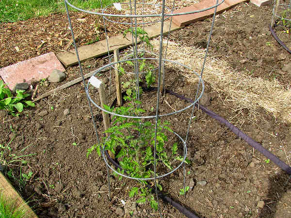picture of a tomato plant vine growing inside a tomato cage