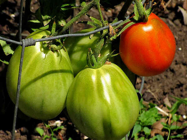 picture of a group of vine tomatoes ripening on the vine