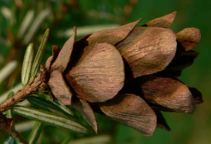 picture of a Western Hemlock Cone