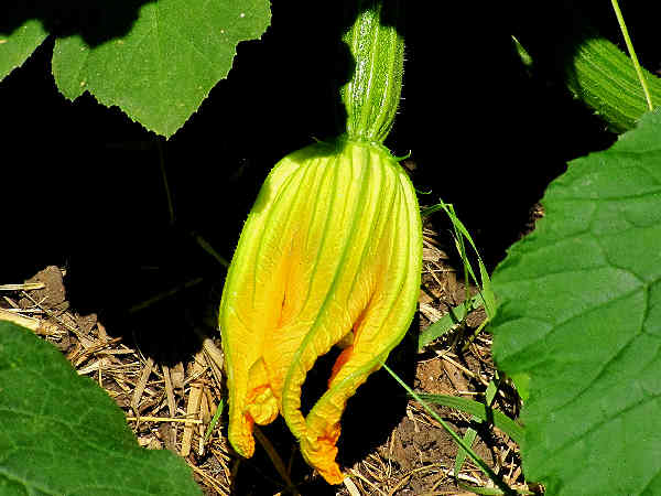 picture of a zucchini flower