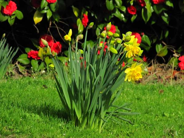 picture of daffodiles on the lawn