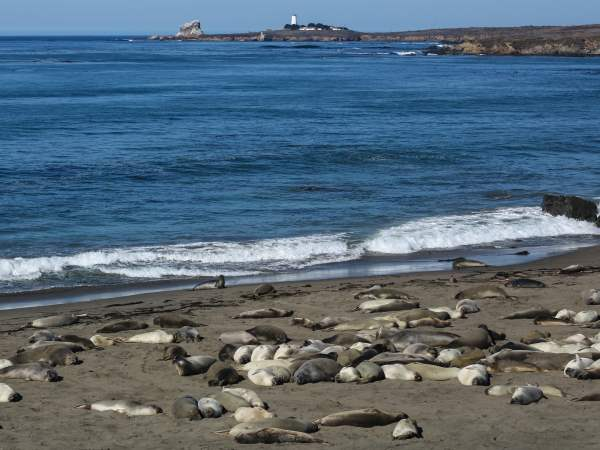 picture of elephant seals on the beach for the Ocean Animals section