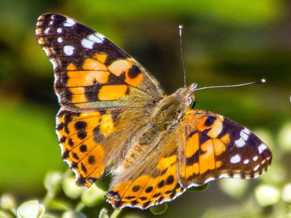 picture of a painted lady butterfly for the butterflies section