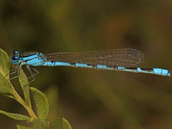 picture of an Alkali Bluet: credit Judy Gallagher Flickr