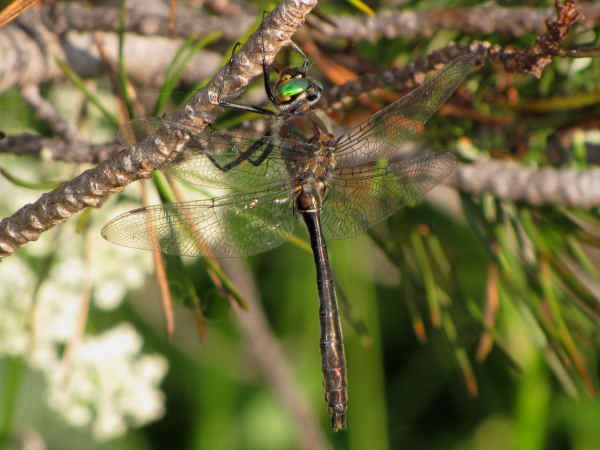 picture of an American Emerald (Cordulia shurtleffii)