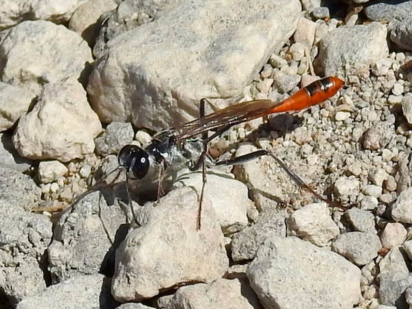 picture of ammophila alberti, a thread-waisted Wasp