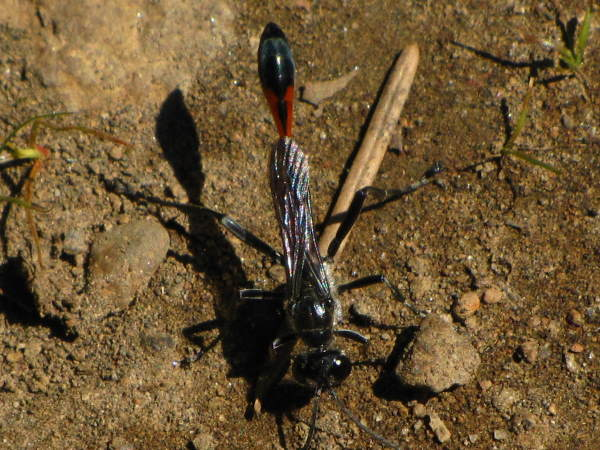 picture of an Ammophila wasp., Oregon wasps