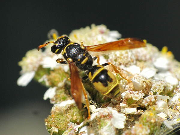 picture of a potter wasp in the Ancistrocerus