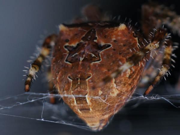 picture of a araneus-illaudatus orb weaver spider, credit Mike Lewinski Flickr
