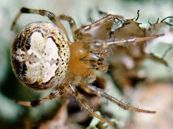 picture of a n Araneus pennia Spider , credit Marshal Hedin Flickr