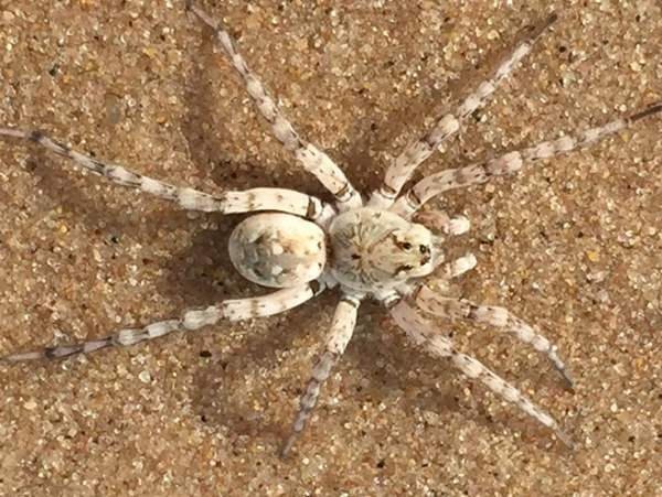 picture of a Wolf Spider Arctosa littoralis
