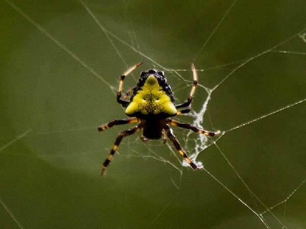 picture of an Arrowhead Spider, Virginia spiders