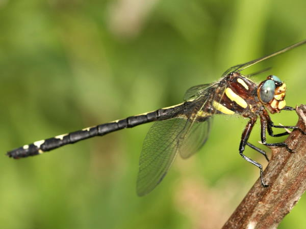 picture of an Arrowhead Spiketail dragonfly
